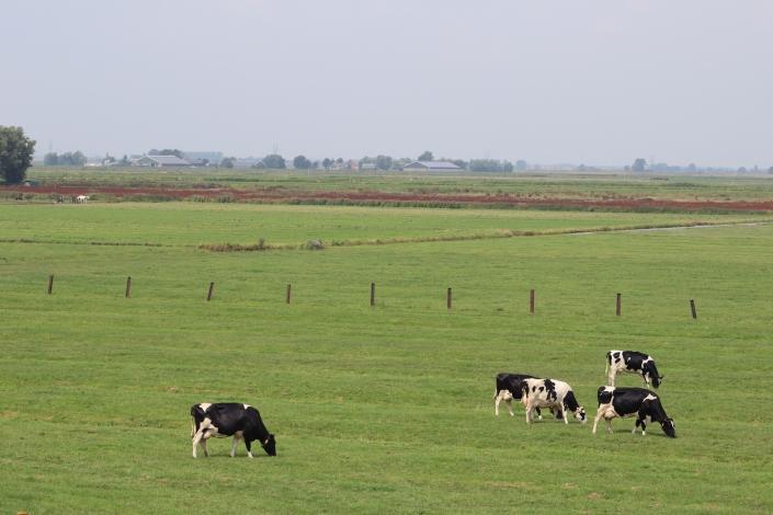 Koeien in weiland